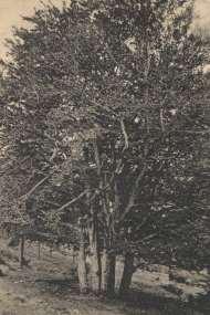 """Au lieu-dit des Cinq Fayards (le nom ancien du hêtre), sur la commune de La Louvesc, dans le Vivarais ardéchois. Considéré comme """"l'arbre aux fées"""", un arbre magique dans la tradition et les légendes nordiques, le hêtre est symbole de pérennité, d'expérience ancestrale et de patience, et on lui prête la faculté d'apporter la sagesse... Il est l'un des plus grands arbres des forêts avec le chêne. Carte postale MB (Le Puy) datée de 1927 / Coll. privée."""